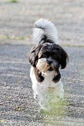 Dawson, chien Shih Tzu