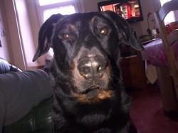 Dax, chien Beauceron