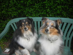 Daxon, chien Berger des Shetland