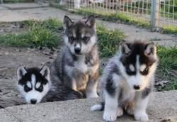 Daxs, chien Husky sibérien