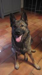 Daya, chien Berger allemand