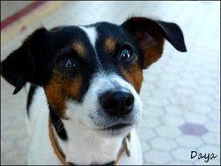 Daya, chien Jack Russell Terrier