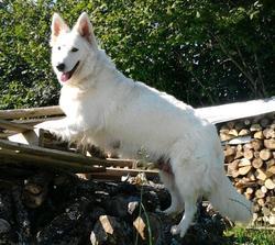 Dayka, chien Berger blanc suisse