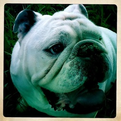 Daylight, chien Bulldog