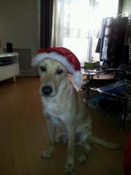 Daymon, chien Labrador Retriever