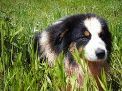 Dayton, chien Berger australien