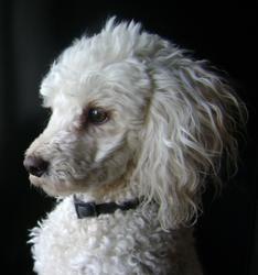 Dayvi, chien Caniche