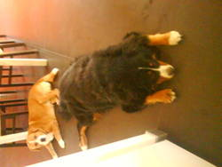 Digger De Baloo, chien Bouvier bernois