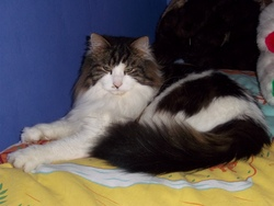 Cesar, chat Maine Coon