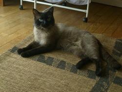 Gazoil, chat Siamois