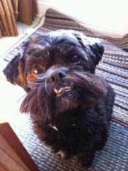Zak, chien Shih Tzu