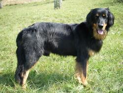 Vasco, chien Hovawart