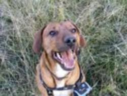 Bilbo, chien Rhodesian Ridgeback