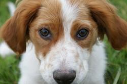 Zoltanne, chien Épagneul breton
