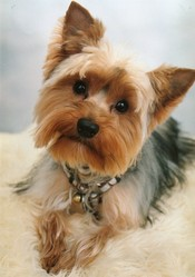 Fingger, chien Yorkshire Terrier
