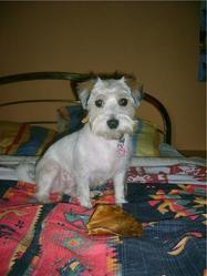 Lara, chien Jack Russell Terrier