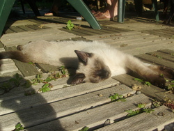 Gaston, chat Birman