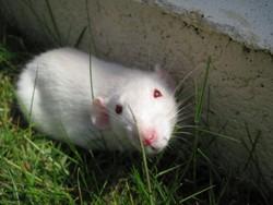 Eawy, rongeur Rat