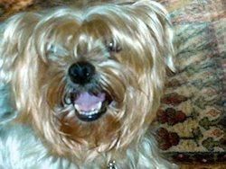 Bally, chien Yorkshire Terrier