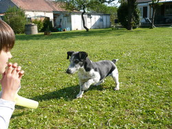 Caline, chien Jack Russell Terrier