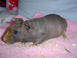 Potam, rongeur Cochon d'Inde