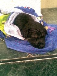 Flora, chien Berger allemand