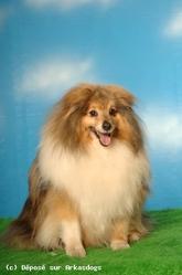 Speedy, chien Berger des Shetland