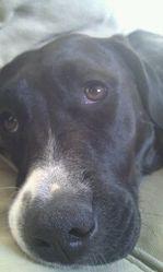 Lilas, chien Labrador Retriever