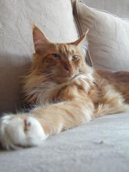 Eros, chat Maine Coon