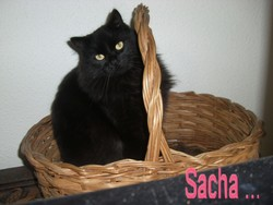 Sacha , chat Persan