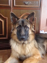 Ewok, chien Berger allemand