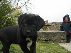 Fayat, chien Labrador Retriever