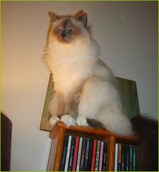 Cova De L'univers, chat Birman