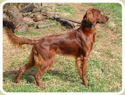 Samy, chien Setter irlandais