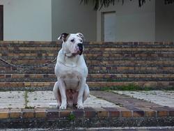 Volf, chien Bulldog