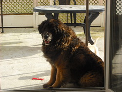 Goliath, chien Leonberger