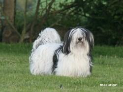 Dchacha, chien Bichon havanais