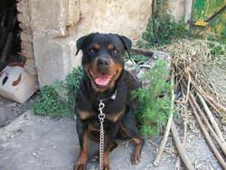 Rosalie, chien Rottweiler