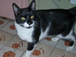 Laika, chat Européen