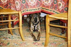 Laura, chien Lévrier espagnol