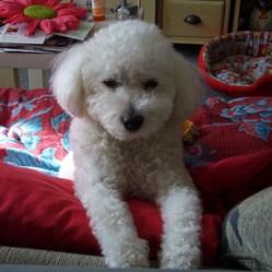 Angel, chien Bichon à poil frisé