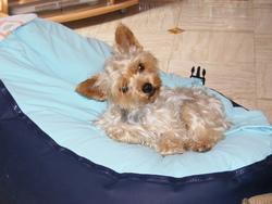 Prunelle, chien Yorkshire Terrier