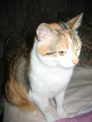 Praline Et Duchesse, chat Européen