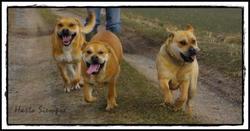 Hasta Siempre, chien Dogue de Majorque