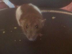 Lust, rongeur Rat