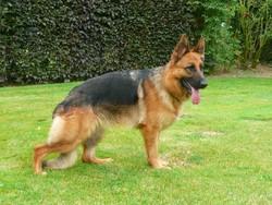 Caramel, chien Berger allemand