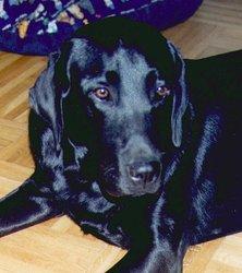Taiga, chien Labrador Retriever