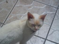 Lolo, chat Balinais