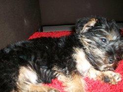 Gibbs, chien Yorkshire Terrier