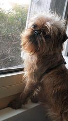 Custer, chien Griffon bruxellois